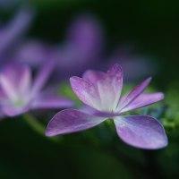 紫陽花 (花 4472)