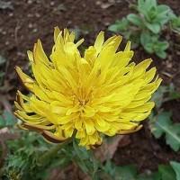季節の花「蒲公英 (たんぽぽ)」