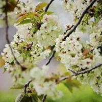 170421_藤沢市内-3 <八重桜>