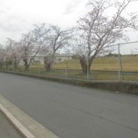 桜がほぼ満開になった