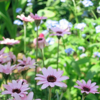 oneboke  今日の庭  ローダンセマム と 横浜都市緑化フェア