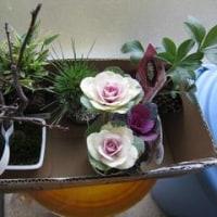 遅ればせながら家の小菊と山茶花が咲き出してきました。