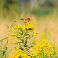 今日の野鳥  ノビタキ・チョウケンボウ