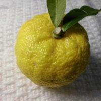 四季の花 12月 柚子の実