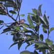 田園のキジとモズの幼鳥とウチワヤンマ