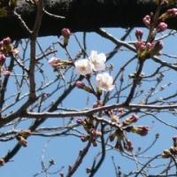 桜日記17 ⑩