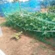 枝豆たち2