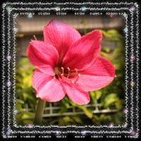 今日庭に咲いた花ajisaito