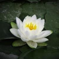 今日の日記、水郷、水元公園の花菖蒲を見に行く