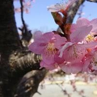 桜、撮り直し^^: