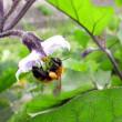 茄子の花に熊蜂