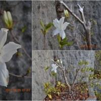 季節外れの白色ツツジ(久留米ツツジ系)の開花 まだ二月です。