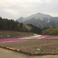 埼玉キッコーマン  芝桜 開花状況