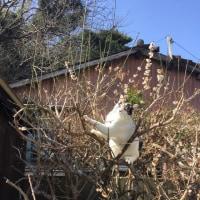 くーさん、梅の木に登る