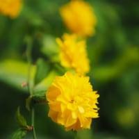 山吹の花を食べる犯人