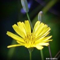 春の訪れ ☆沖縄県の野に咲く花 おにたびらこ 幸春撮影