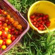 夏だ!トマトだ!