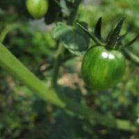 今日の庭をウロウロ。(スカシユリ、キキョウの蕾と野菜の実)