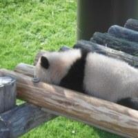 赤ちゃんパンダ・結浜(ゆいひん)