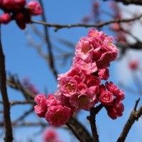 【京都園芸倶楽部Facebook】先週の植物(2017年3月12日~18日)