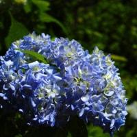 今日の福岡市植物園から「あじさい」(シグマDP2メリル)