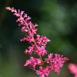 ピンクのアスチルベ