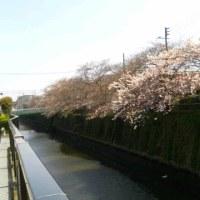 今年も桜が咲き始めました♪