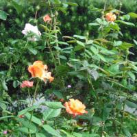 咲き始めました バラの「プリンセスミチコ」