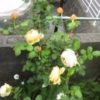 庭の花 バラが花盛り 170519