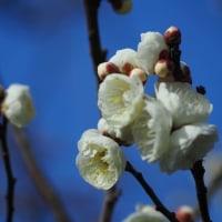 百梅園の梅が開花