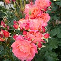 昨年花巻の薔薇🌹から購入したディズニーローズ