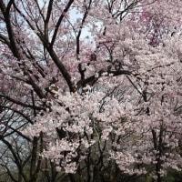 「桜」/新宿御苑(2017春)