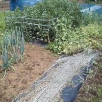 5月28日・トウモロコシの播種と他・・・