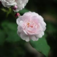 薔薇(ブッシュノアゼット)