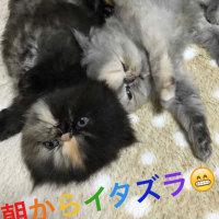 朝から やんちゃペルシャ子猫の動画deイタズラ!(=^ェ^=)