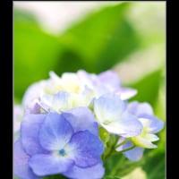 菖蒲園の紫陽花