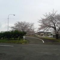 4月6日(木) 職場の桜