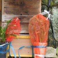 日本蜜蜂を魅惑するキンリョウヘンの花が咲いたので待ち箱にセット/公文書管理 抜け道許さぬ見直しを