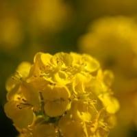 田尻の菜の花畑