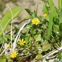 田んぼの畦にコオニタビラコの花