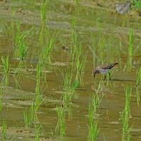 水田でヒバリシギ