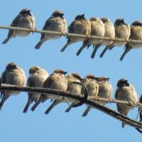 街のすずめ-羽曳野市白鳥