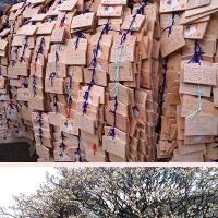 湯島天神の梅開花で「梅まつり」開催も安心そう。