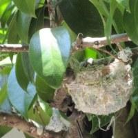 今年も6羽が巣立つ
