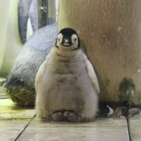 エンペラーペンギンのヒナ2