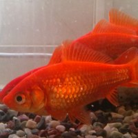 金魚の健康