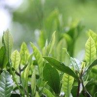 霜月二十九日、茶樹―remembrance