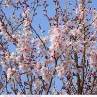 コヒガン (小彼岸) 桜