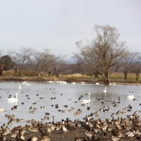 白鳥の湖 瓢湖へ