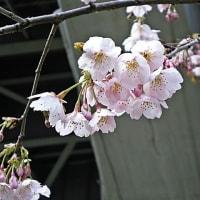 橋脚下の大寒桜